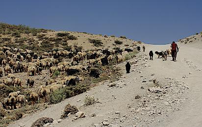Iran-Hirte