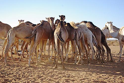 Nubien-Kamelherde-am-Wasserlovh