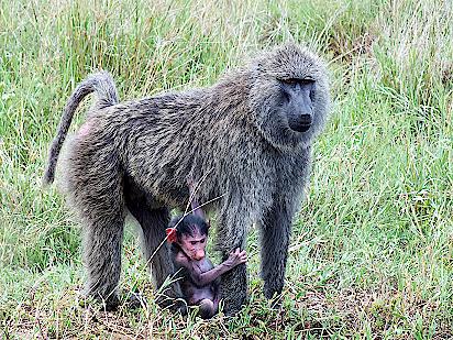 Serengeti-Affe-Jungtier-Massai