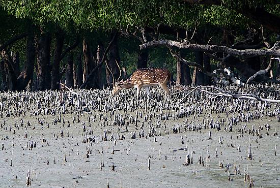Reh-am-Strand-in-den-Sundarbans