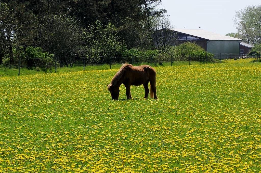 Pferd-auf-einer-Wiese
