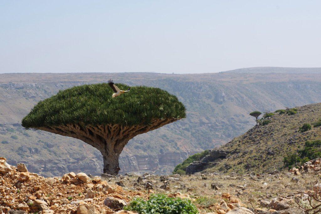 Drachenblutbaum und Schmutzgeier