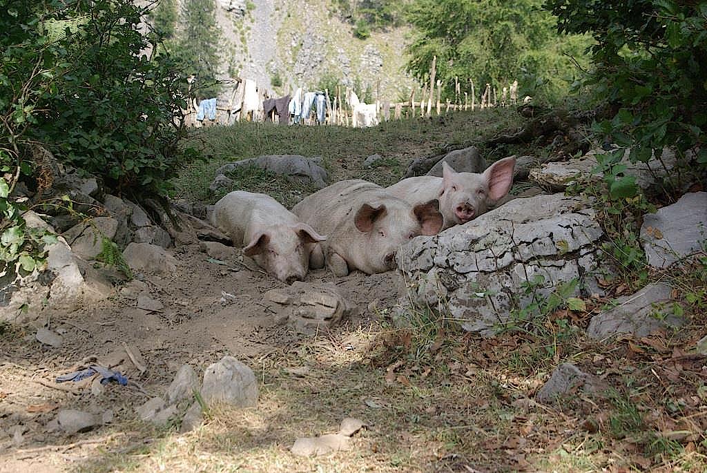 Schweine-ruhen-im-Schatten