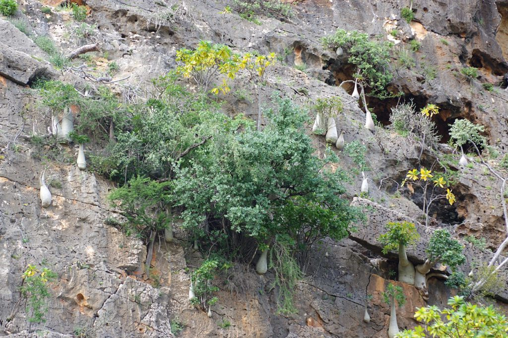 Flaschenbäume am Felsen