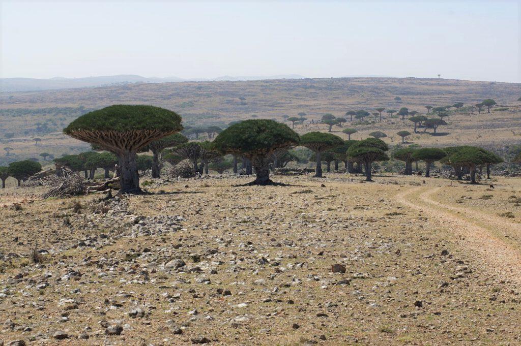 Drachenblutbäume im Wadi Derhur