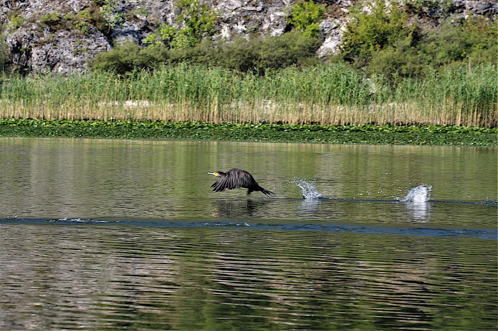 Vogelparadies-Skutarisee-Montenegro