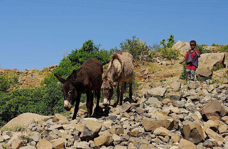 Junge mit zwei Eseln