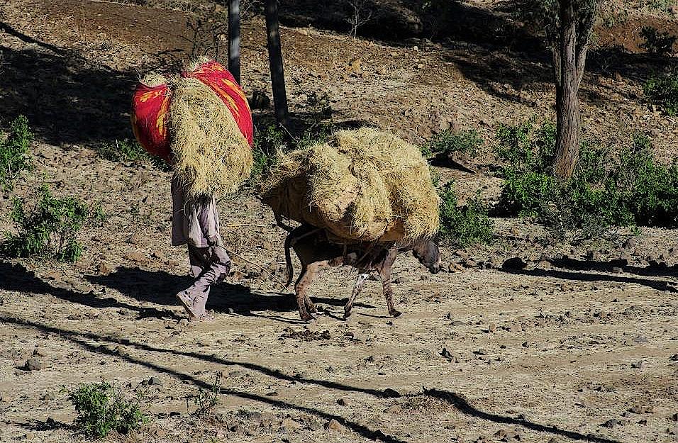 Mann und Esel beim Heu schleppen