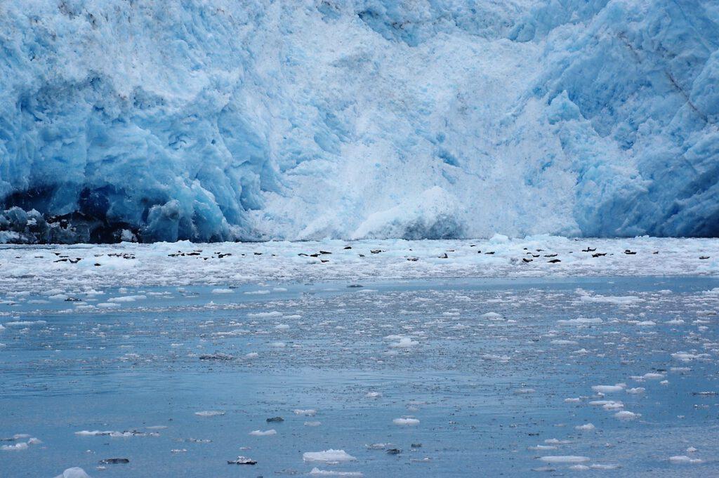Seehundkolonie vor einem Gletscher