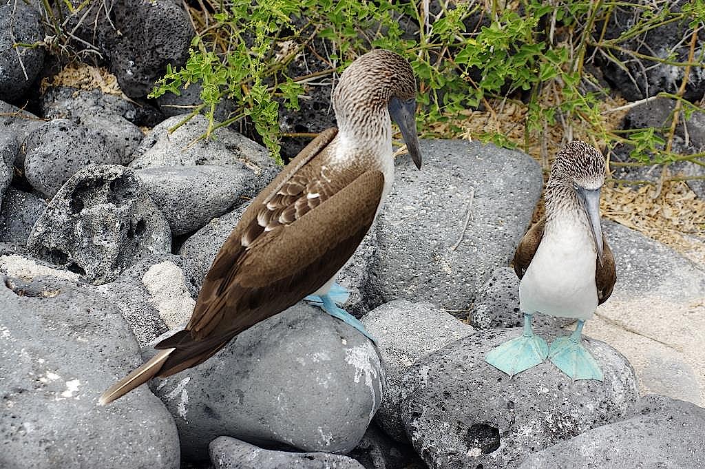Blaufusstoelpel-Galapagos