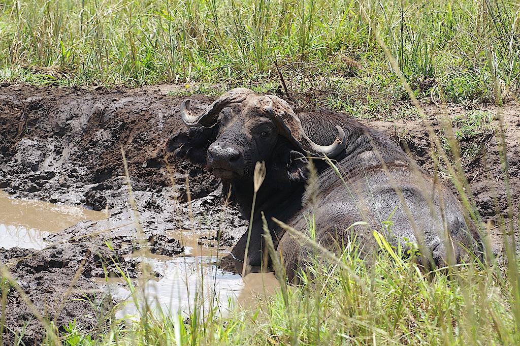 Bueffel-im-Kidepo-Nationalpark-Uganda