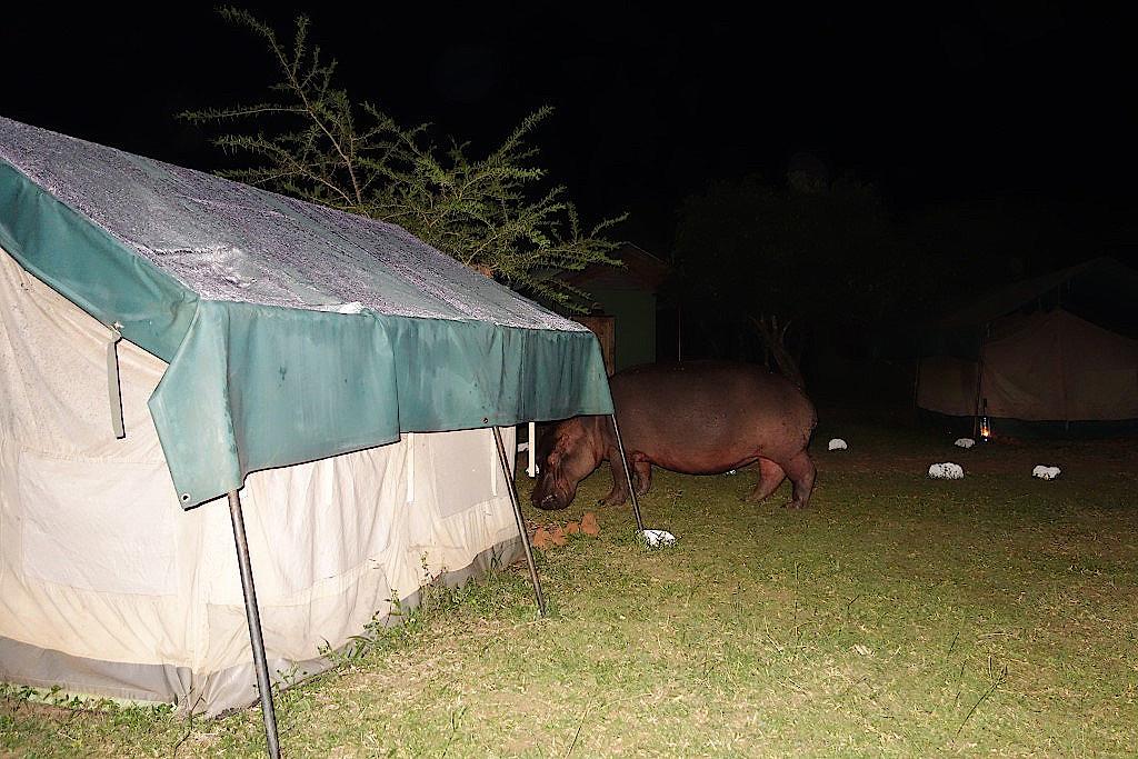 Ein-Nilpferd-durchstreift-das-Camp-im-Murchison-National-Park