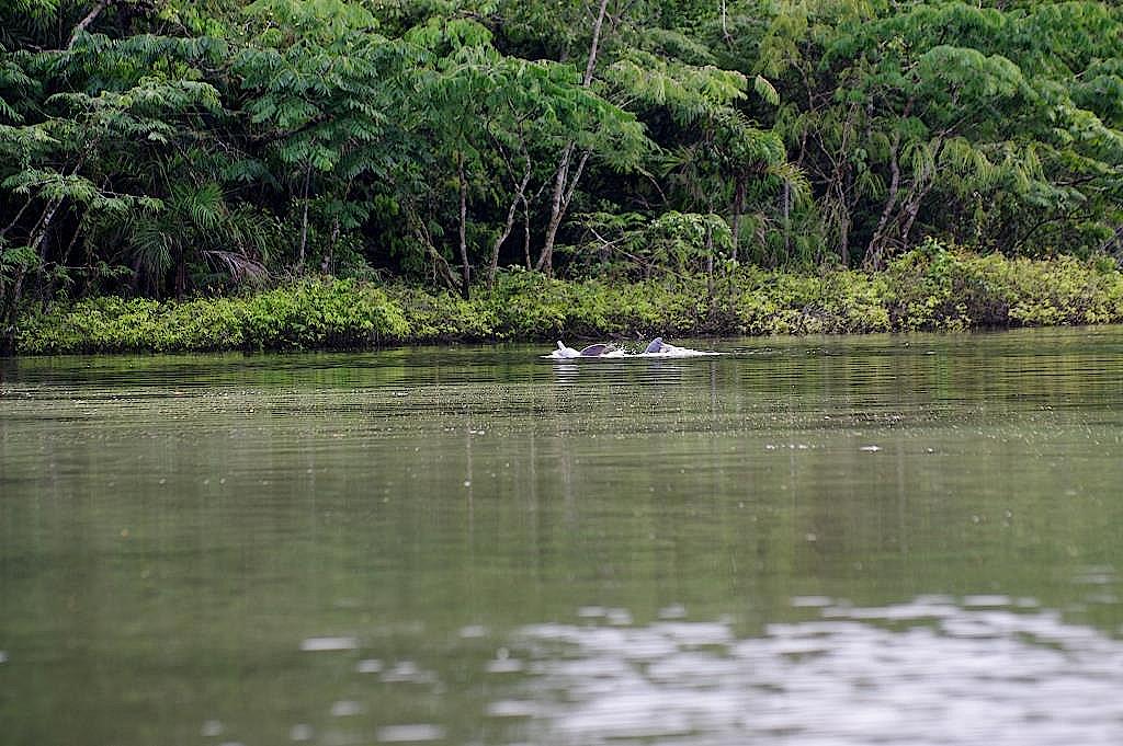 Delfine-im-Cuyabeno-Reservat-Ecuador