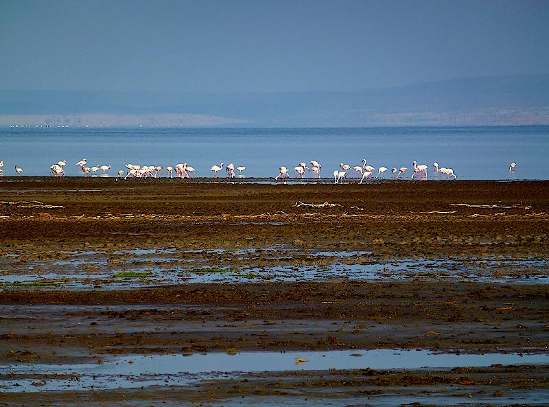 Flamingos-am-Lake-Abbe-in-Dschibuti