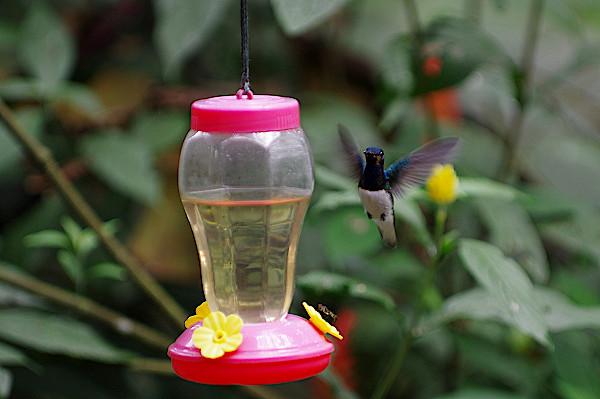 Kolibrigarten-Mindo-Ecuador