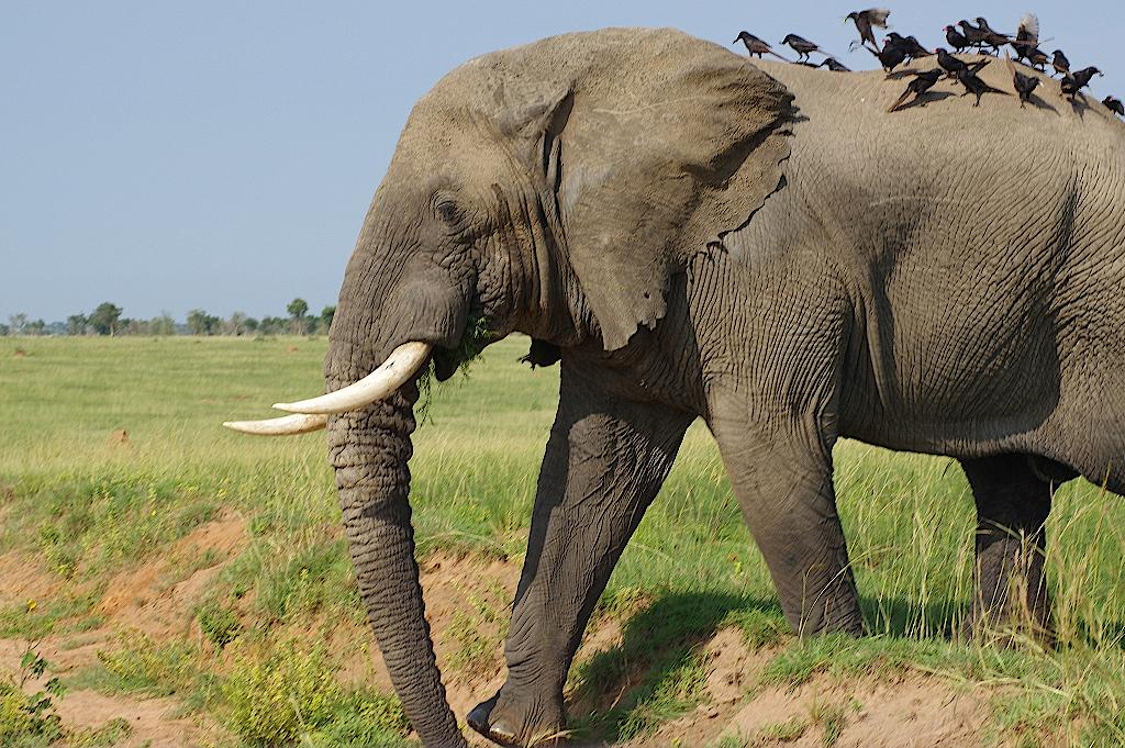 Elefant-mit-Vögeln-auf-dem-Rücken-im-Murchison-Nationa