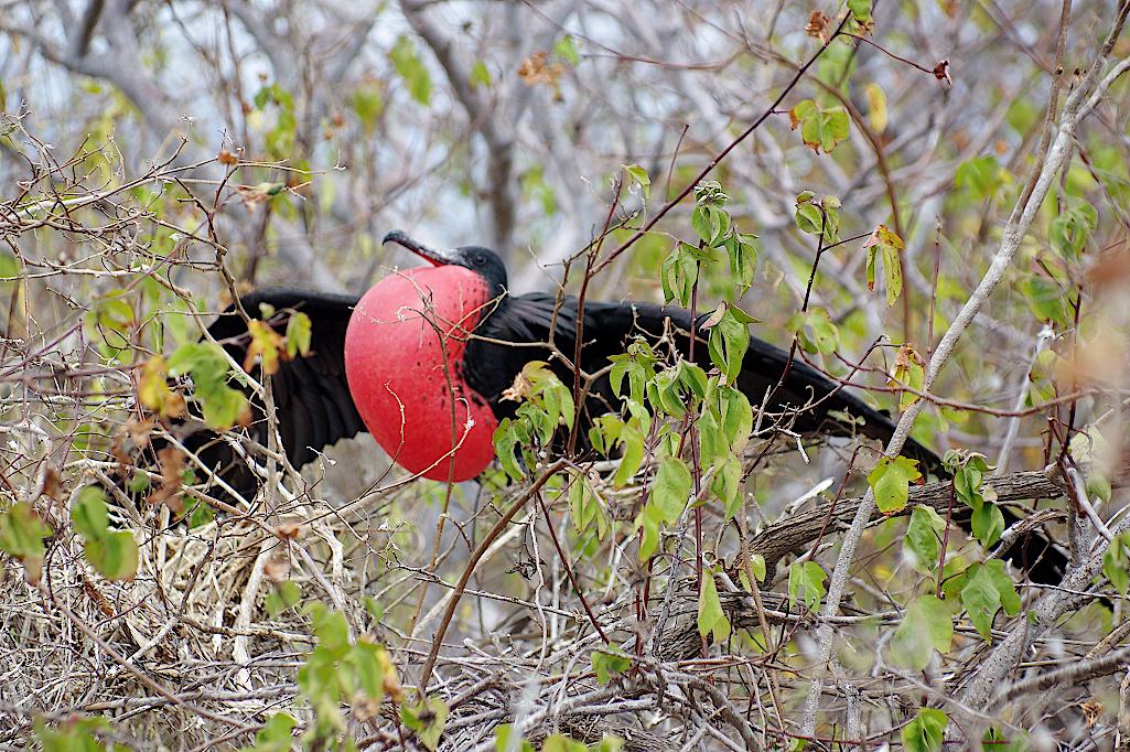 Balzender Fregattvogel