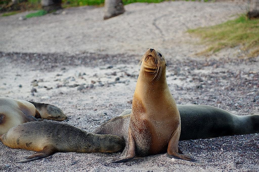 Seelöwen am Strand von San Cristobal