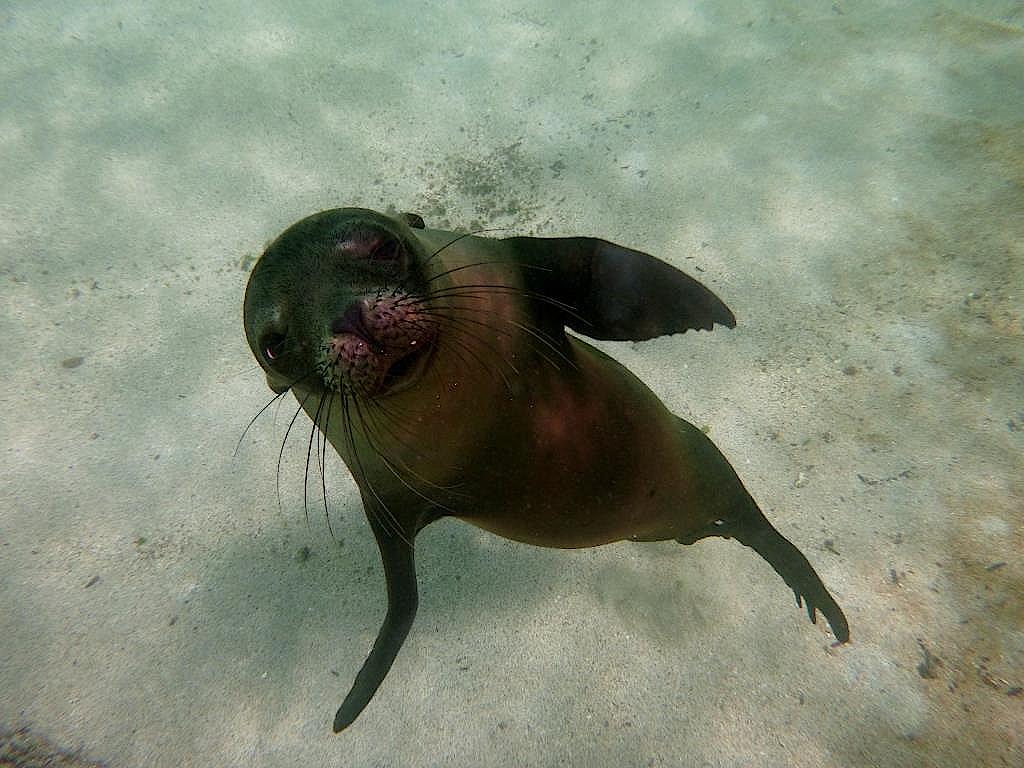 Tanzender Galapagos-Seelöwe