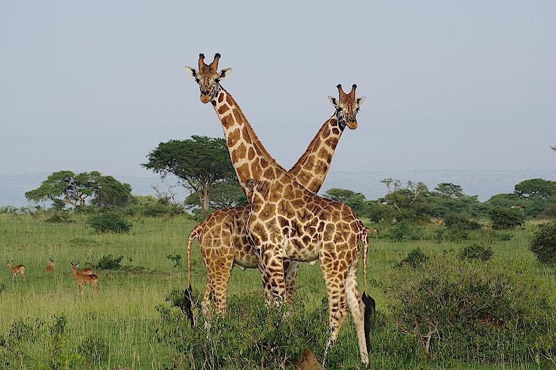 Giraffen-im-Murchison-National-Park