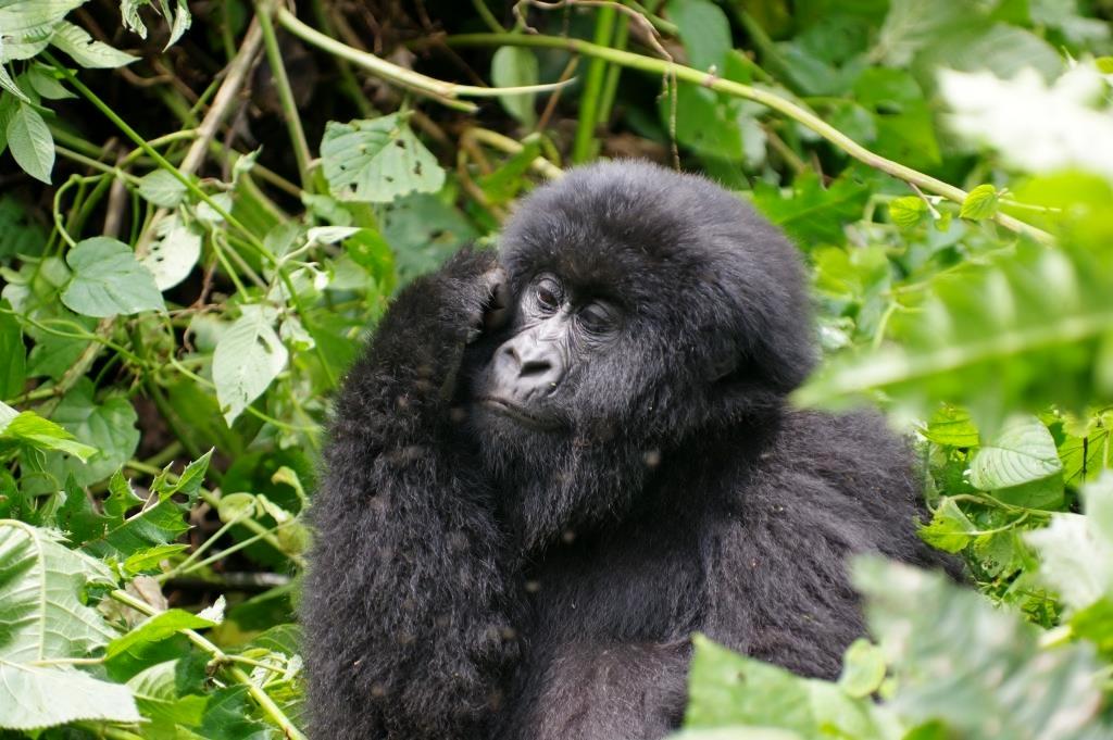 Gorilla in Gedanken