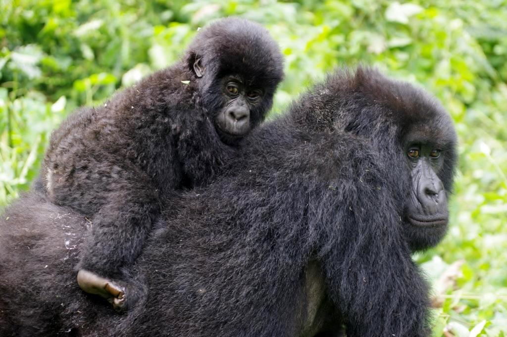 Gorillamutter mit Jungtier auf dem Rücken
