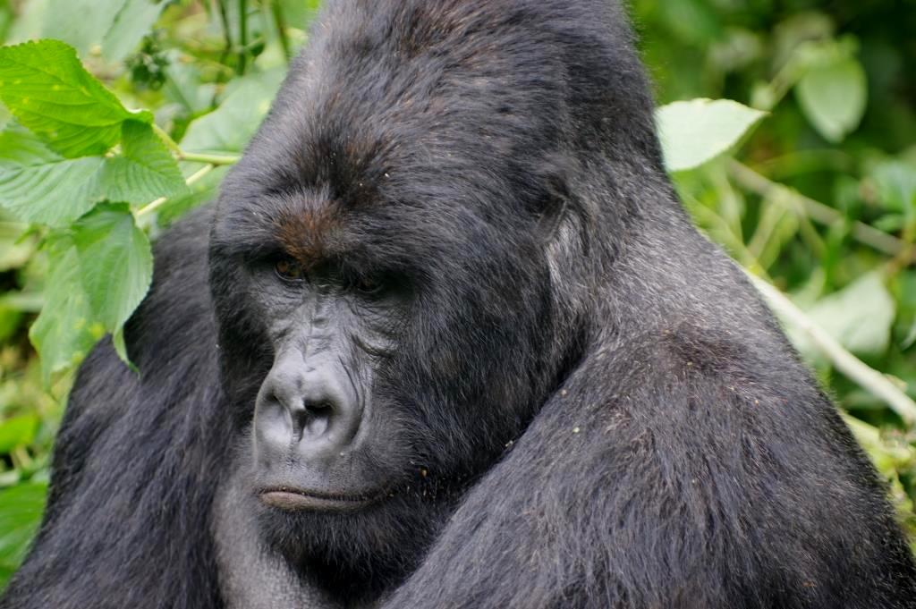 Gorilla-Silberruecken-DR-Kongo