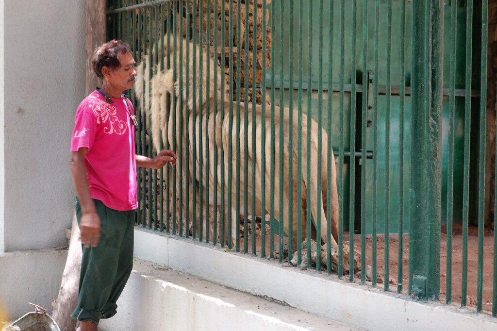 Ein Tierpfleger schmust mit einem Löwen