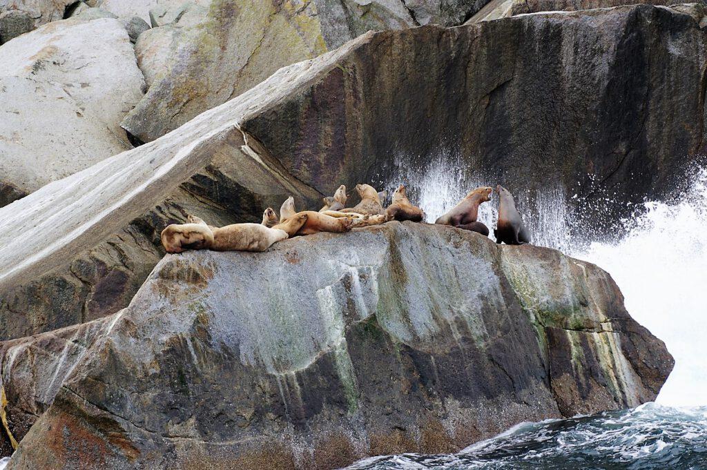 Seeloewen-im-Kenai-Fjords-Nationalpark-Alaska