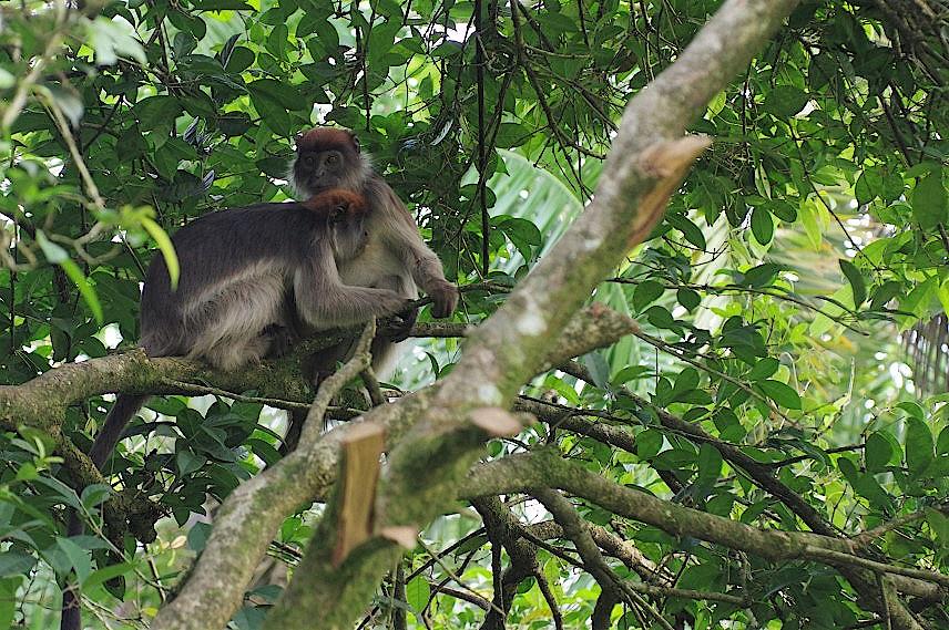 Kolobusaffen-in-Uganda