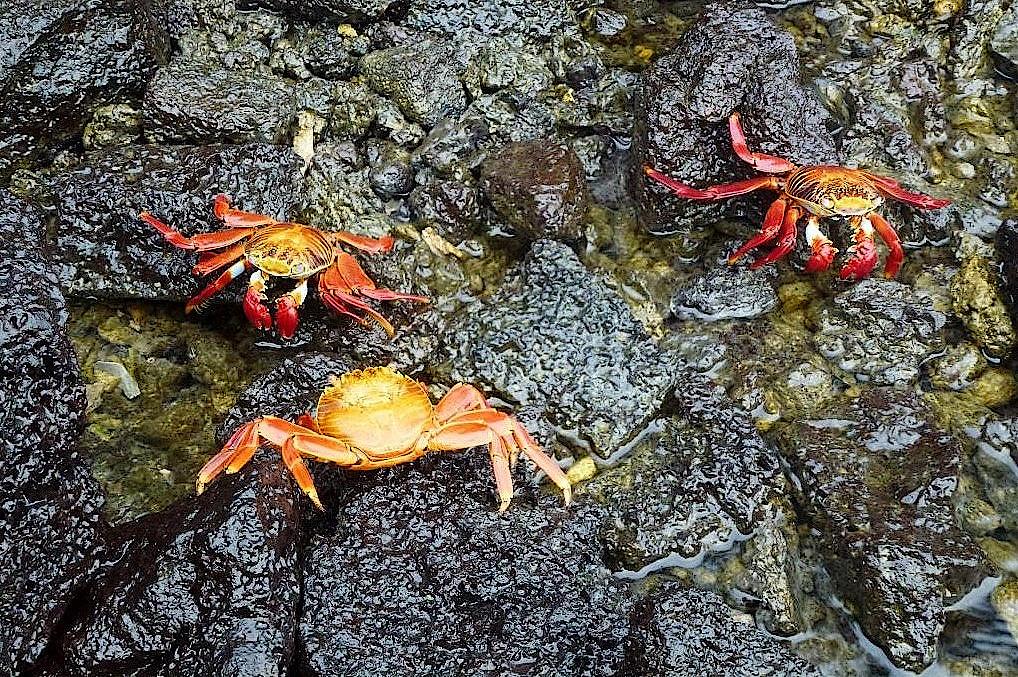Spektakulär gefärbte Krabben