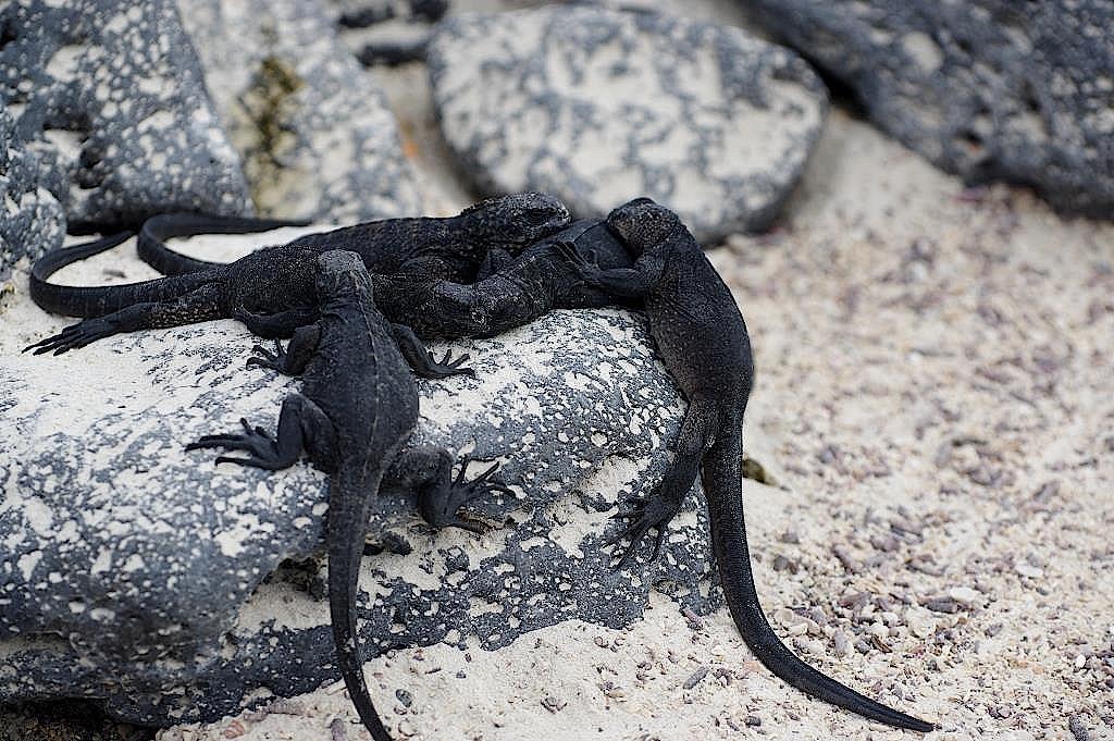 Leguan-Galapgos