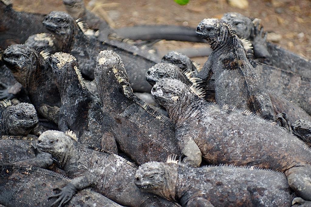 Leguane wärmen sich in der Gruppe