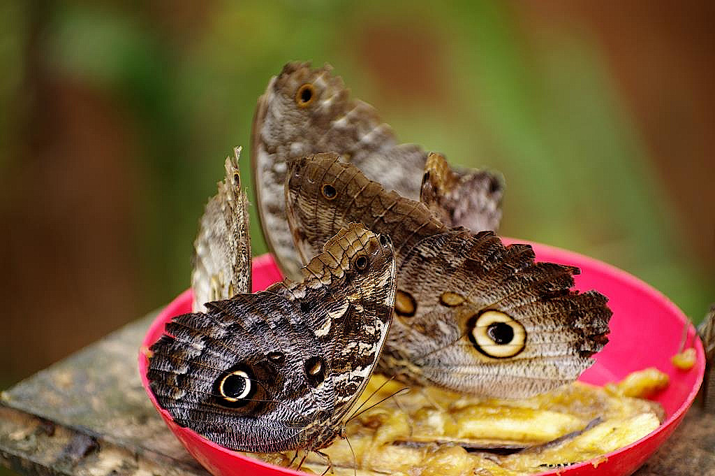 Schmetterlinge naschen von einer Banane