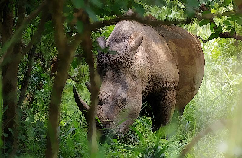 Nashorn-Ziwa-Nationalpark-Uganda