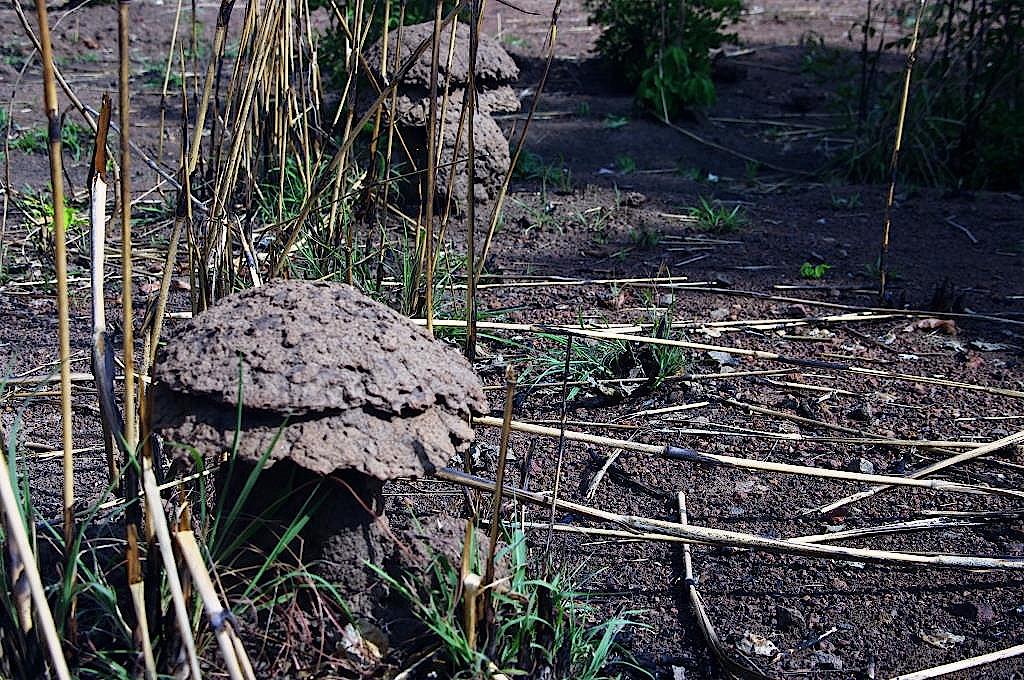 Termitenbauten in Pilzform in Guinea