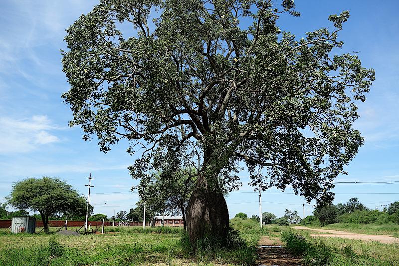 Florettseidenbaum-Trunkener-Baum