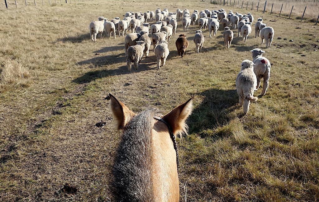 Die Schafe werden auf eine andere Weide getrieben