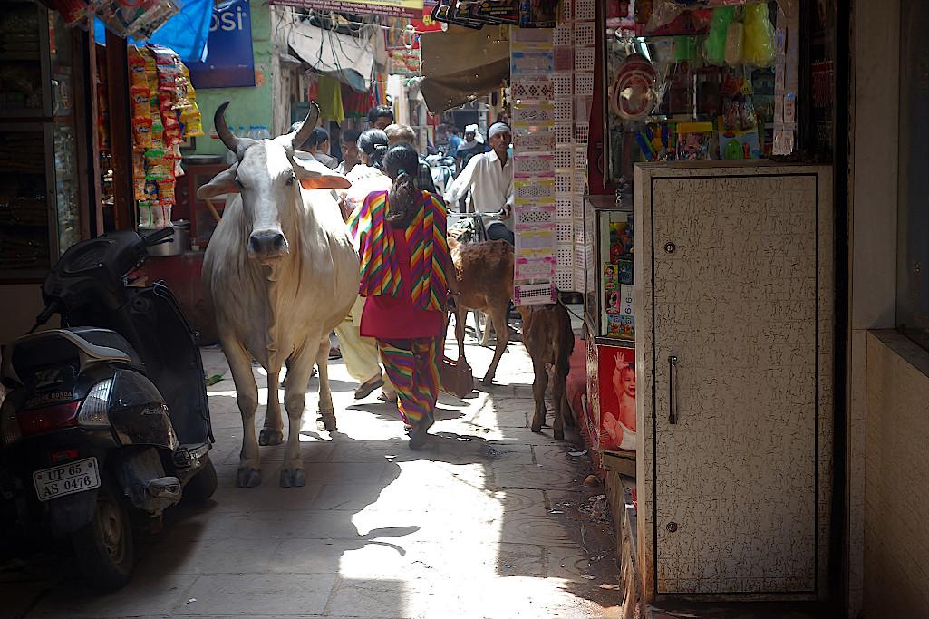 Heilige-Kuehe-auf-dem-Markt-in-Varanasi
