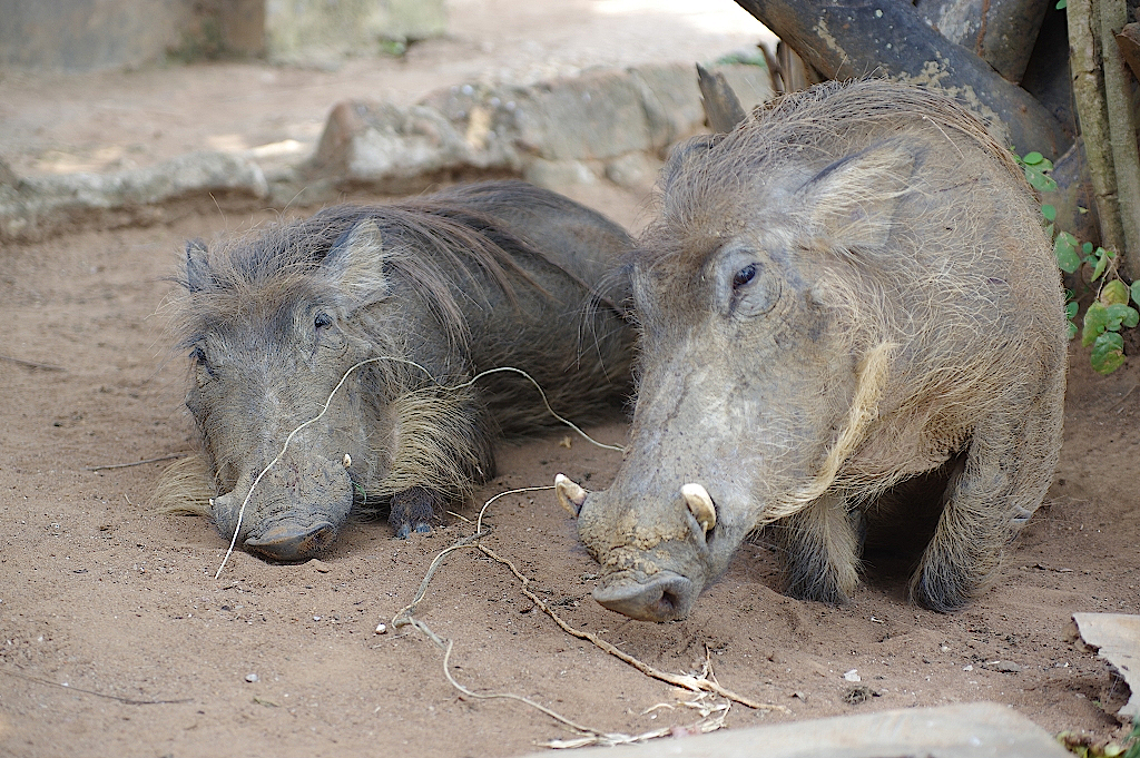Warzenschweine relaxen im Camp