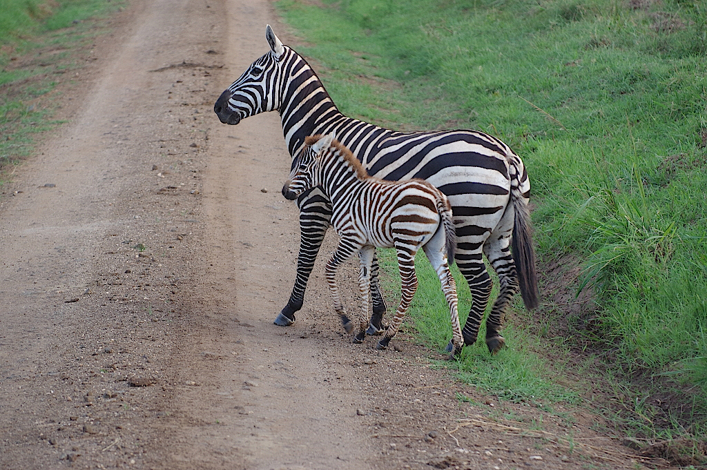 Zebra-mi-Jungtier-im-Kidepo-Nationalpark-Uganda