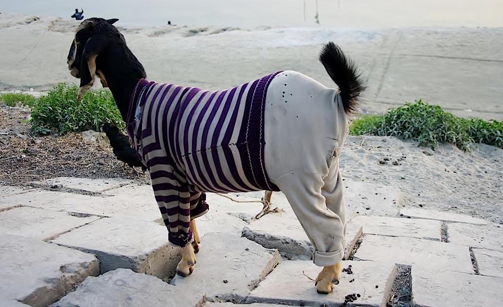 Mit Pullover bekleidete Ziege