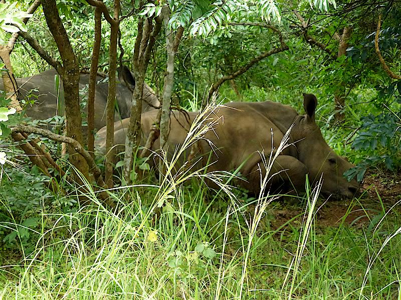 Nashorn-Jungtier-Ziwa-Nationalpark-Uganda