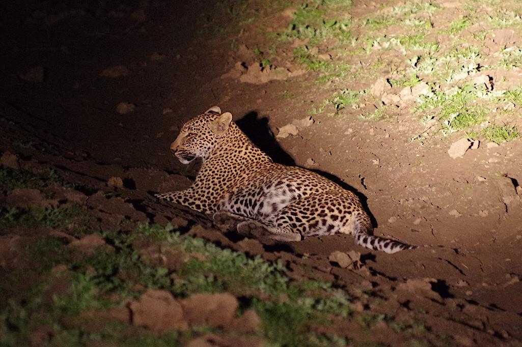 Leopardin-im-South-Luangwa-Nationalpark-Sambia
