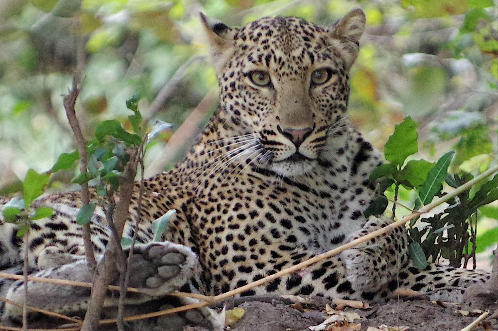 Leopard-im-South-Luangwa-Nationalpark-in-Sambia