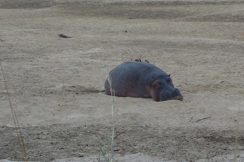 Schlafendes-Flusspferd-im-Luambe-Nationalpark-Sambia
