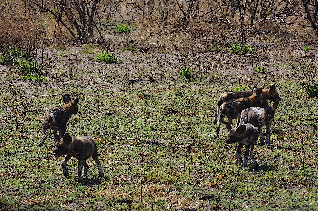 Afrikanische-Wildhunde-im-Okavangodelta