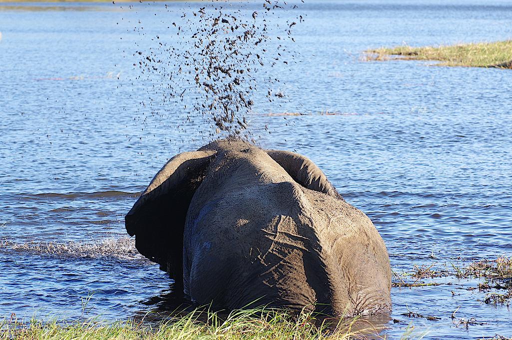 Elefante-beim-Schlammbad--im-Chobe-Nationalpark-Botswana