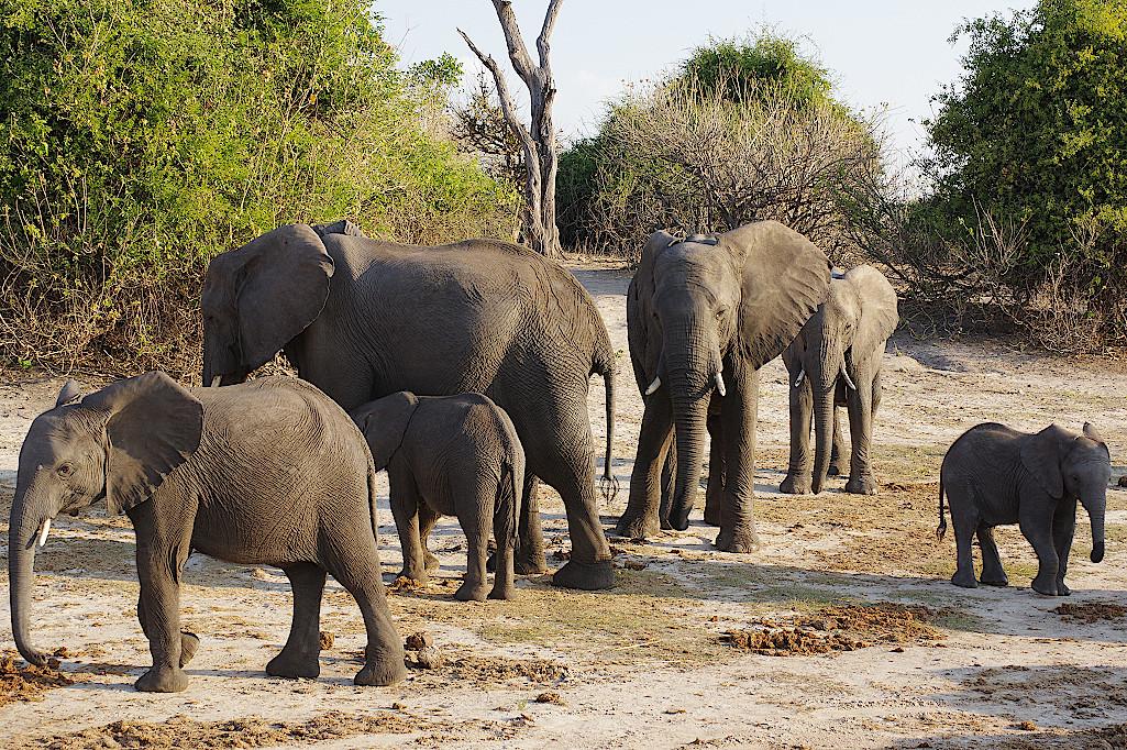 Elefanten-im-Chobe-Nationalpark