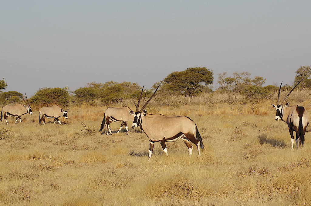 Oryx-Antilope-in-der-Kalahari